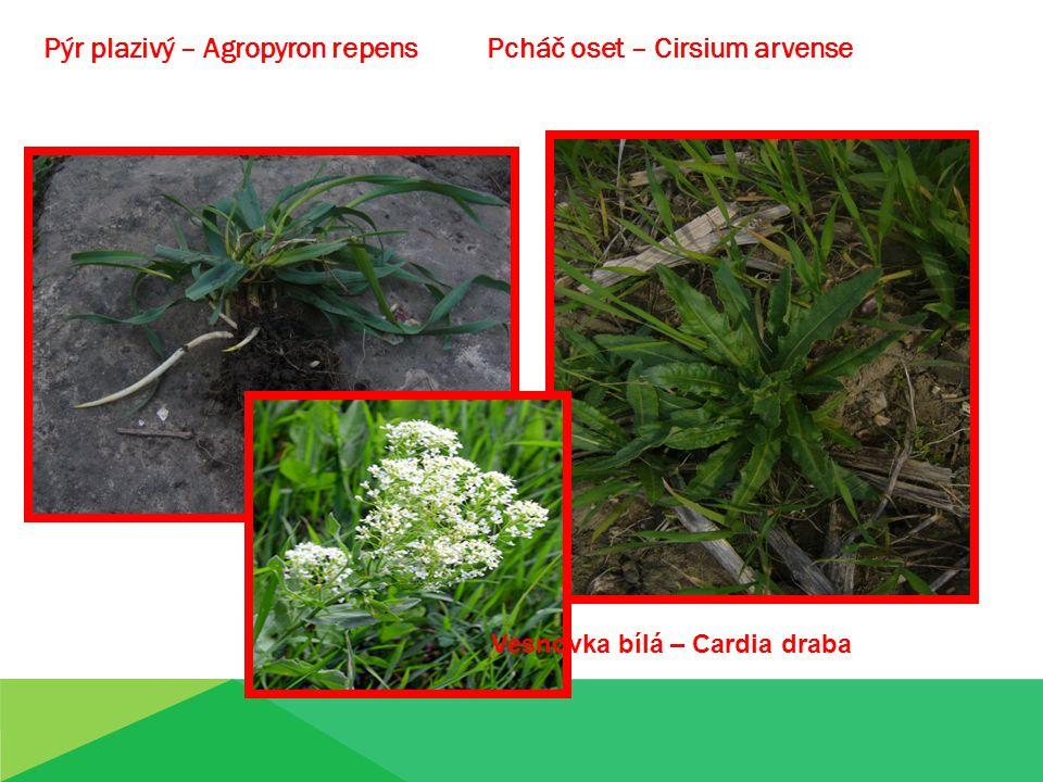 Pýr plazivý – Agropyron repens Pcháč oset – Cirsium arvense