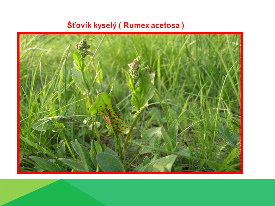 Šťovík kyselý ( Rumex acetosa )