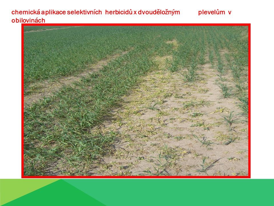 chemická aplikace selektivních herbicidů x dvouděložným plevelům v obilovinách