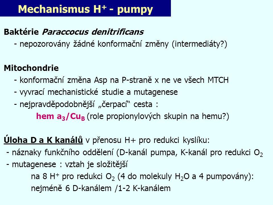 Mechanismus H+ - pumpy Baktérie Paraccocus denitrificans
