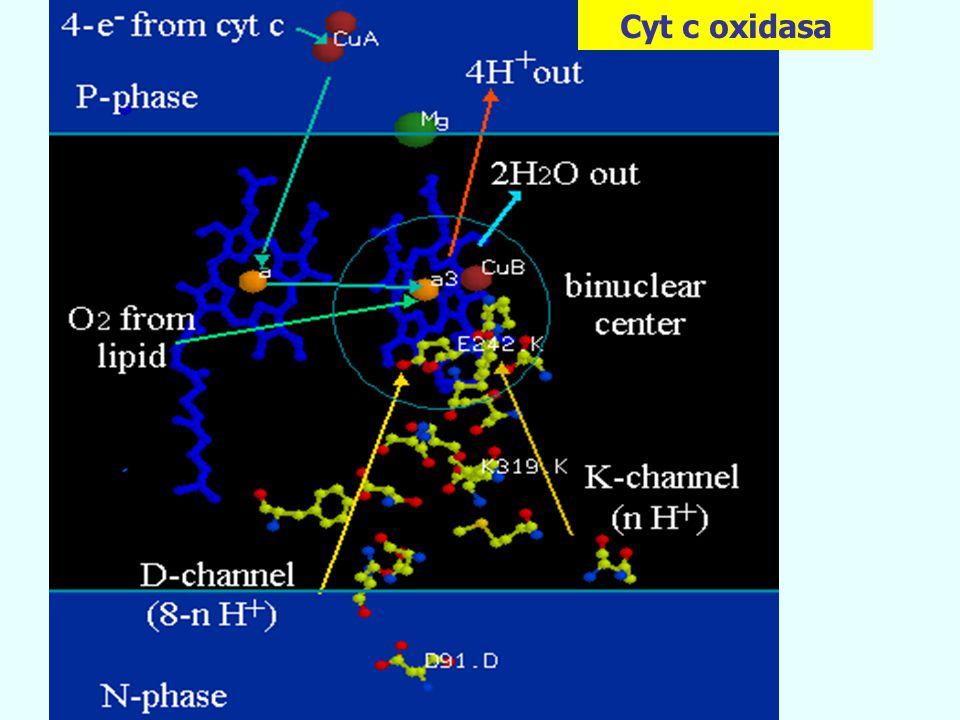 Cyt c oxidasa