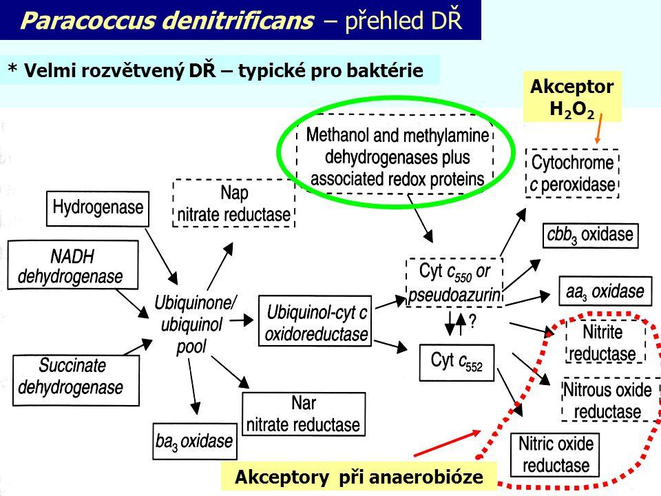 Paracoccus denitrificans – přehled DŘ