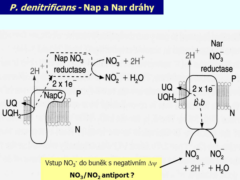 P. denitrificans - Nap a Nar dráhy