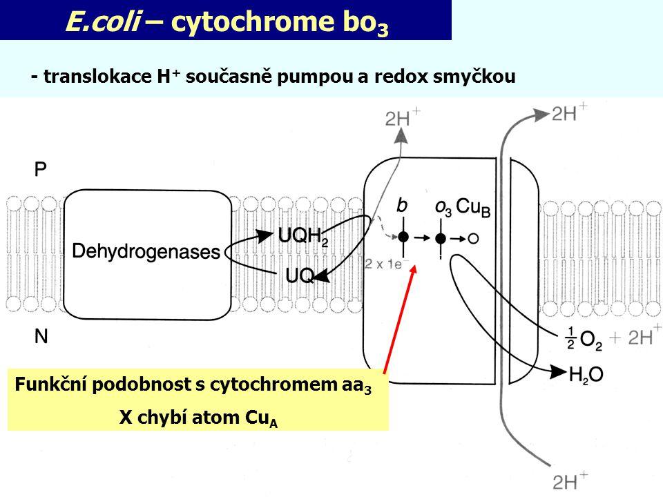 E.coli – cytochrome bo3 - translokace H+ současně pumpou a redox smyčkou. Funkční podobnost s cytochromem aa3.