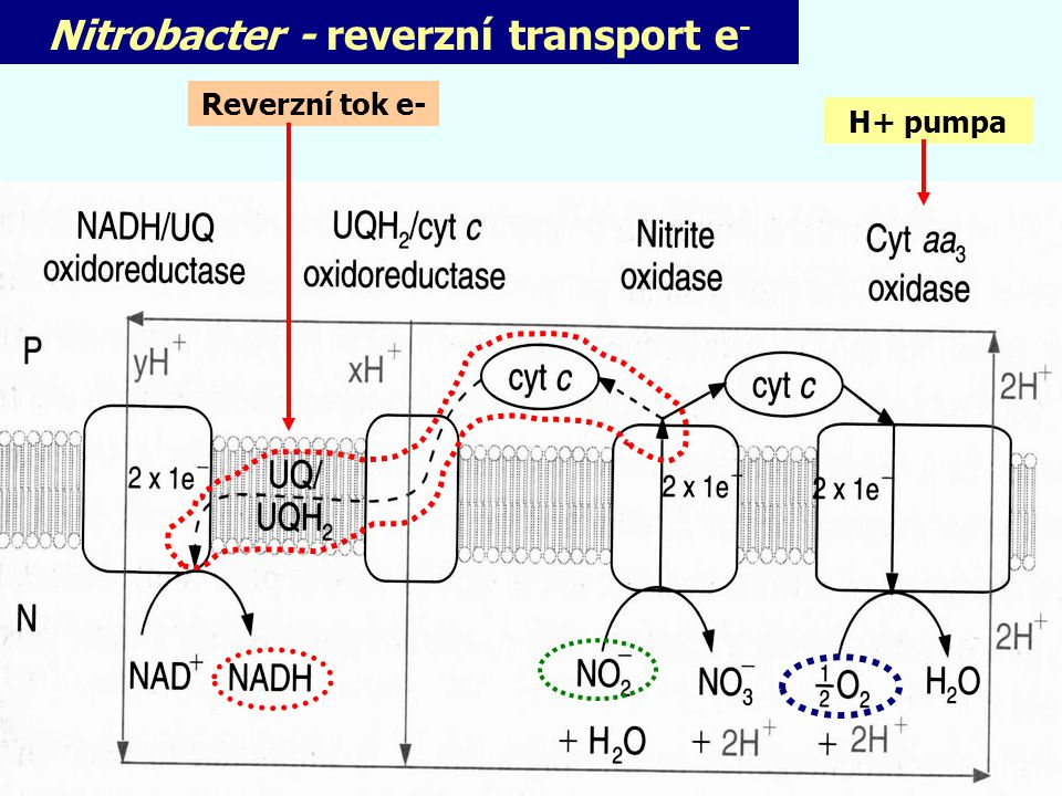 Nitrobacter - reverzní transport e-