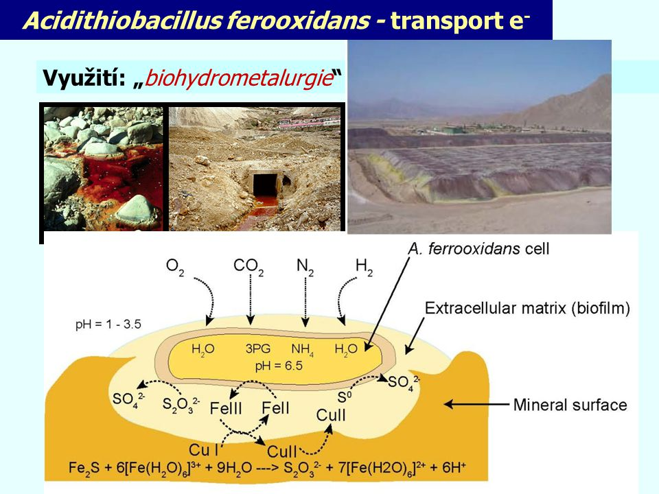 Acidithiobacillus ferooxidans - transport e-