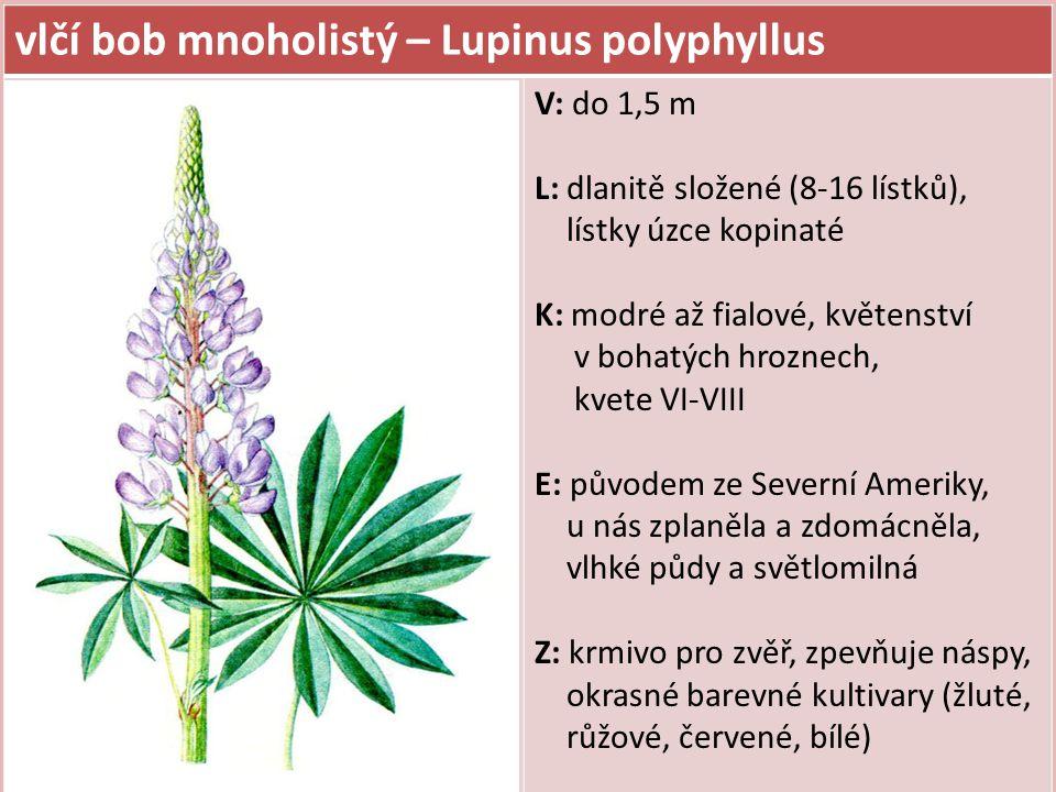 vlčí bob mnoholistý – Lupinus polyphyllus