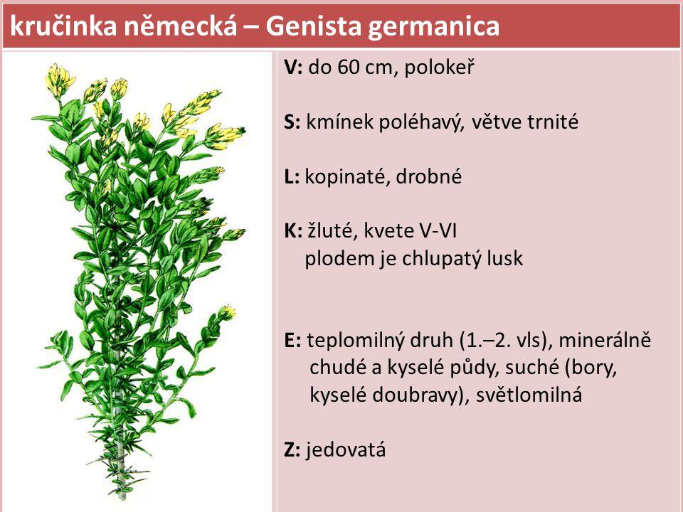 kručinka německá – Genista germanica