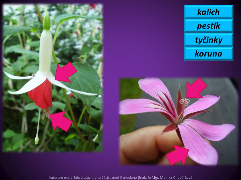 kalich pestík tyčinky koruna