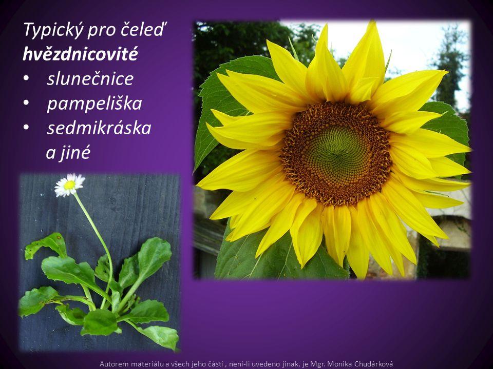Typický pro čeleď hvězdnicovité slunečnice pampeliška sedmikráska