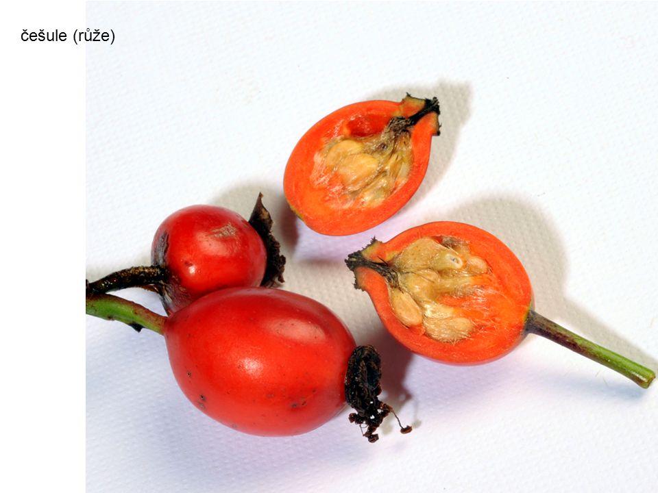 češule (růže) autor: Kotoviski photograph by Henryk Kotowski