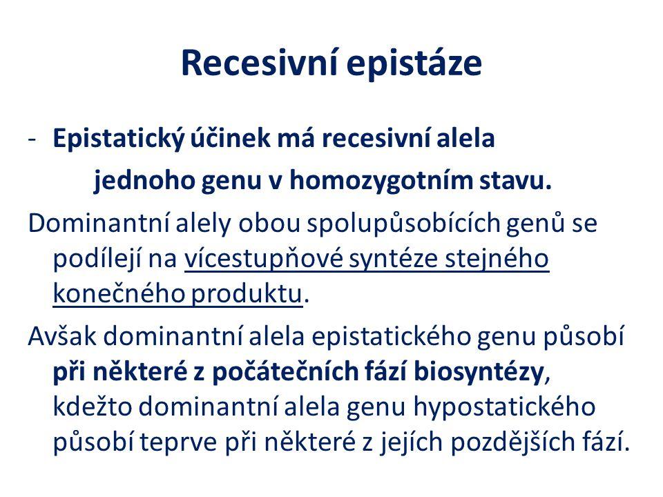 Recesivní epistáze Epistatický účinek má recesivní alela