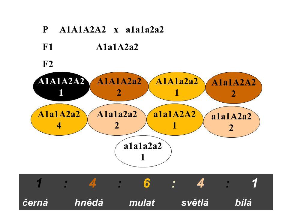 1 : 4 : 6 : 4 : 1 P A1A1A2A2 x a1a1a2a2 F1 A1a1A2a2 F2 A1A1A2A2 1