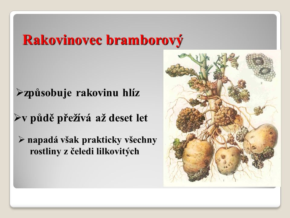 Rakovinovec bramborový