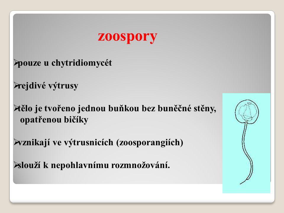 zoospory pouze u chytridiomycét rejdivé výtrusy