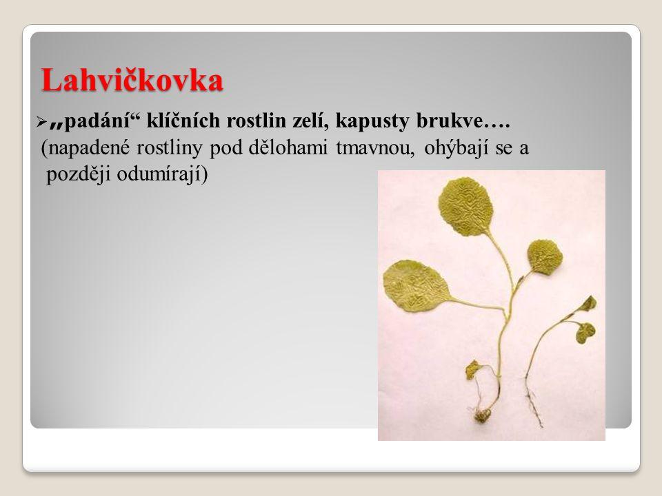 Lahvičkovka (napadené rostliny pod dělohami tmavnou, ohýbají se a