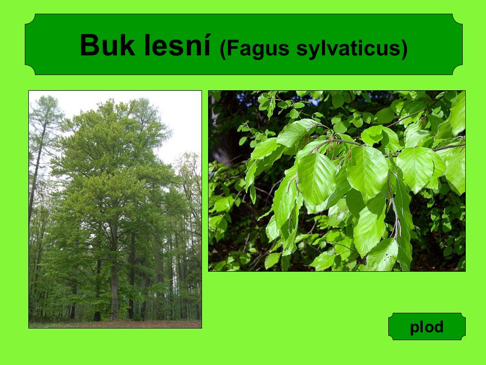 Buk lesní (Fagus sylvaticus)