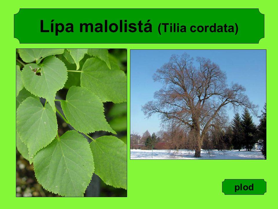 Lípa malolistá (Tilia cordata)