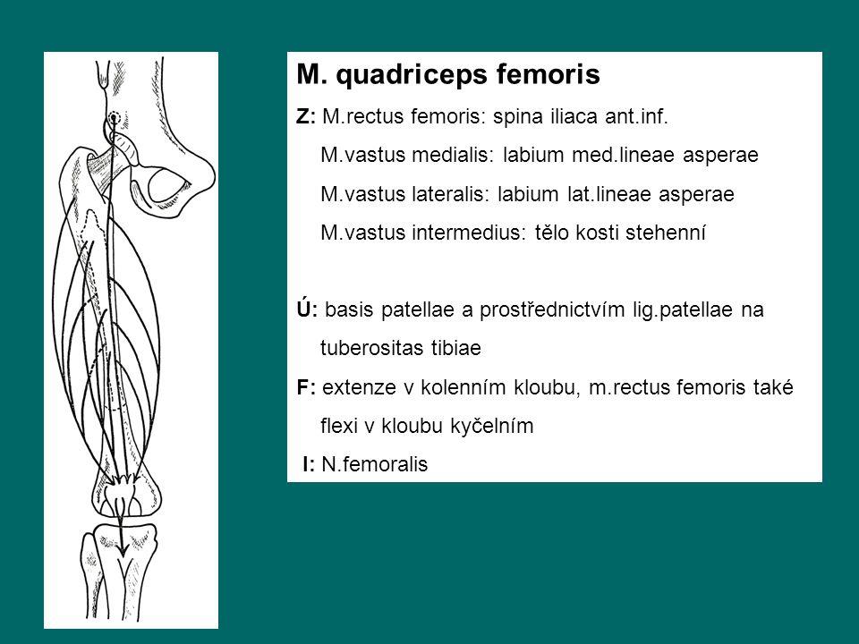 M. quadriceps femoris Z: M.rectus femoris: spina iliaca ant.inf.