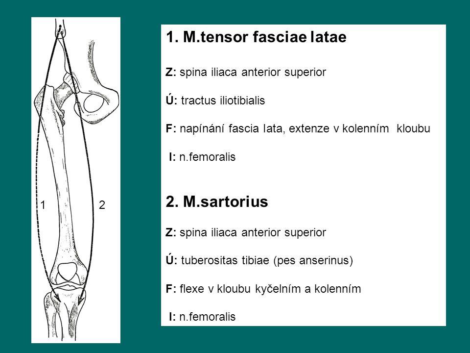 1. M.tensor fasciae latae 2. M.sartorius