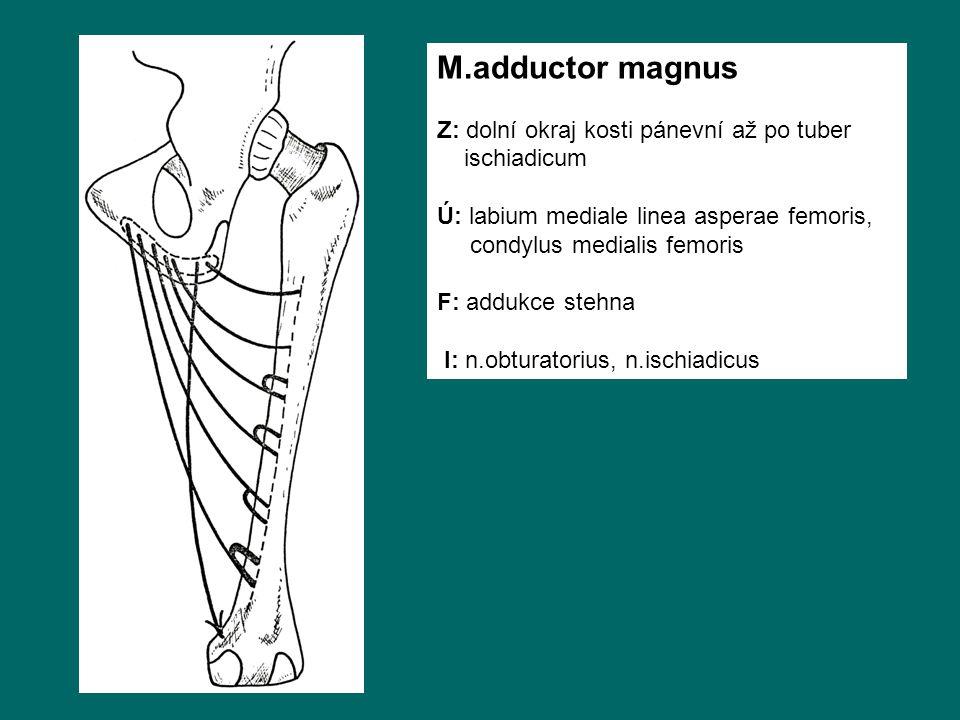 M.adductor magnus Z: dolní okraj kosti pánevní až po tuber ischiadicum