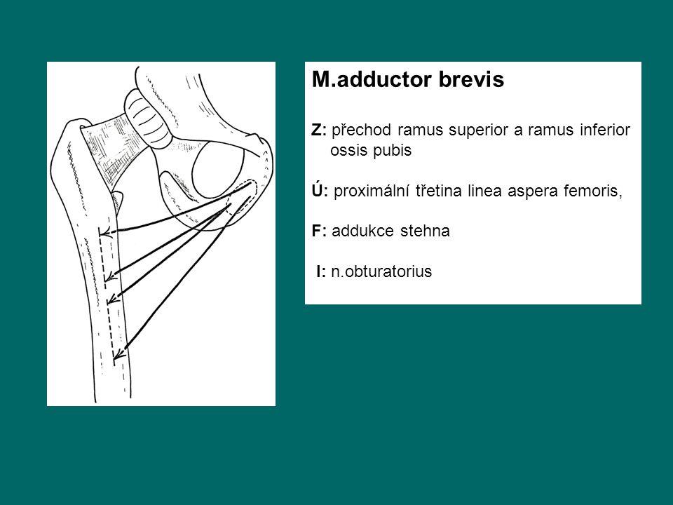 M.adductor brevis Z: přechod ramus superior a ramus inferior