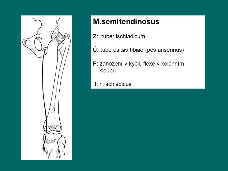 M.semitendinosus Z: tuber ischiadicum