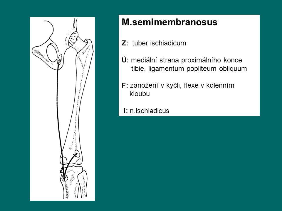 M.semimembranosus Z: tuber ischiadicum