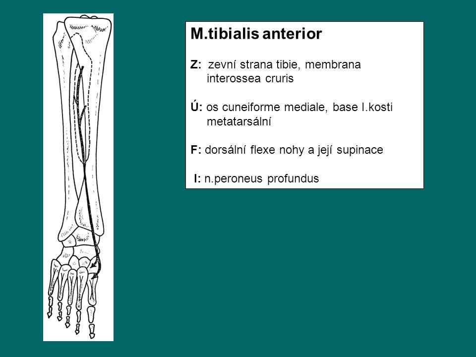 M.tibialis anterior Z: zevní strana tibie, membrana interossea cruris