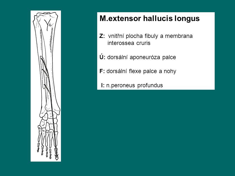 M.extensor hallucis longus