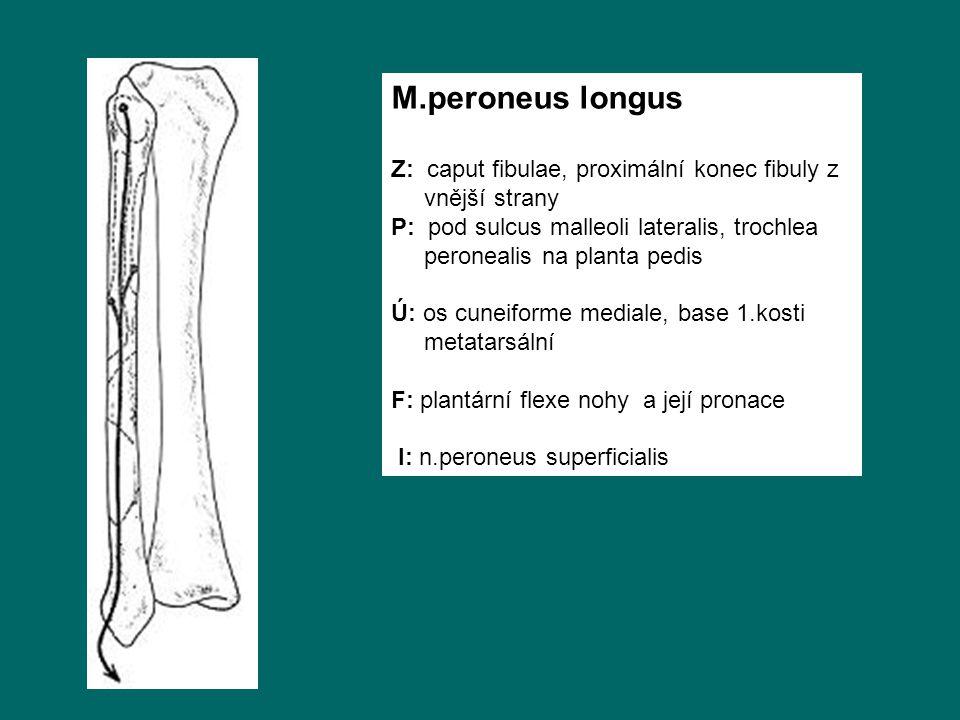 M.peroneus longus Z: caput fibulae, proximální konec fibuly z