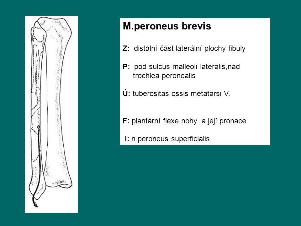 M.peroneus brevis Z: distální část laterální plochy fibuly
