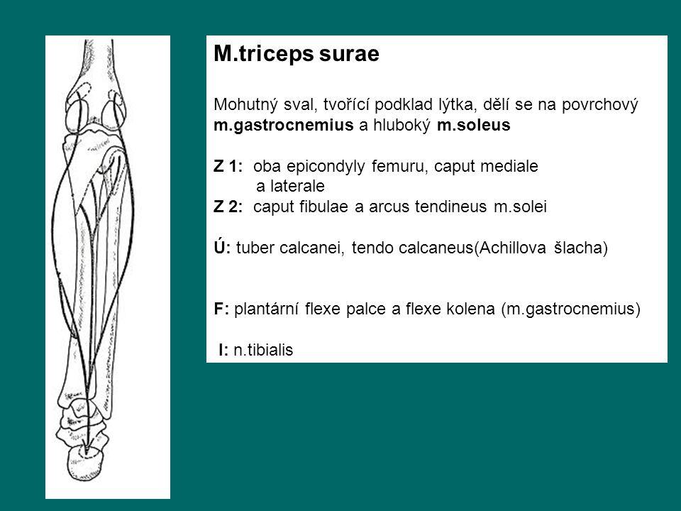M.triceps surae Mohutný sval, tvořící podklad lýtka, dělí se na povrchový m.gastrocnemius a hluboký m.soleus.