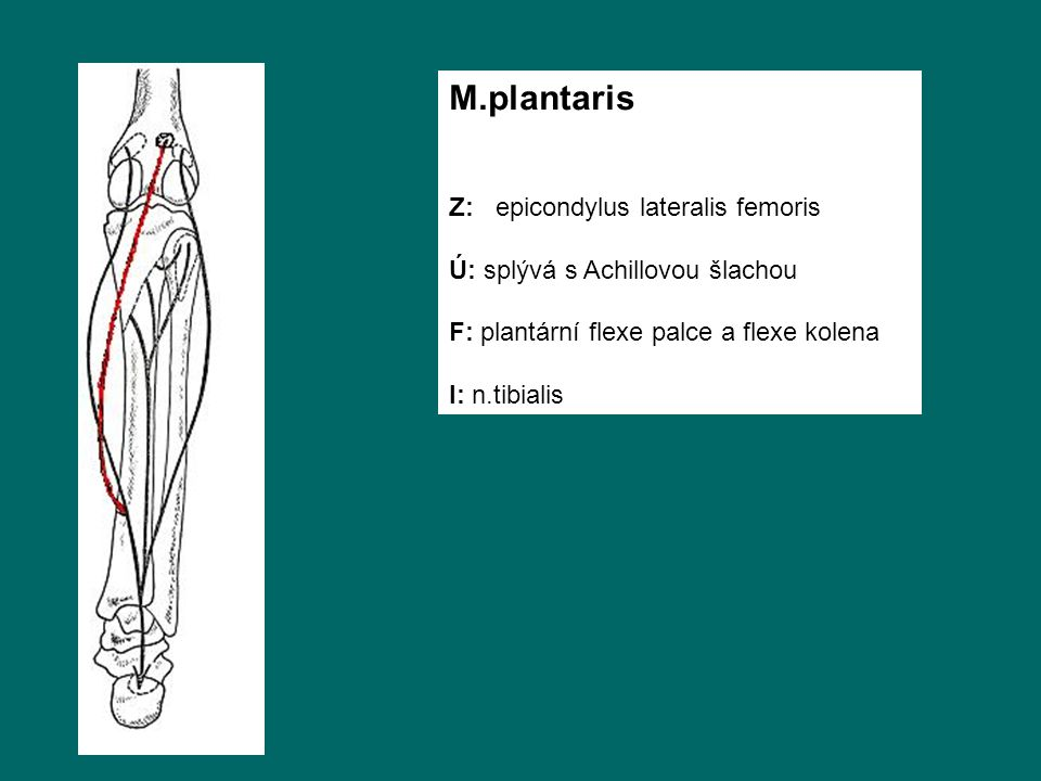 M.plantaris Z: epicondylus lateralis femoris