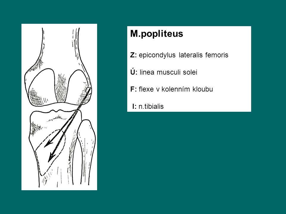 M.popliteus Z: epicondylus lateralis femoris Ú: linea musculi solei