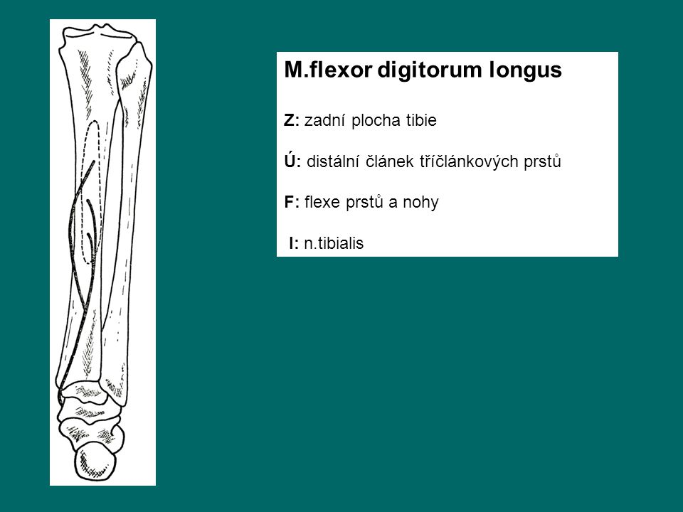 M.flexor digitorum longus