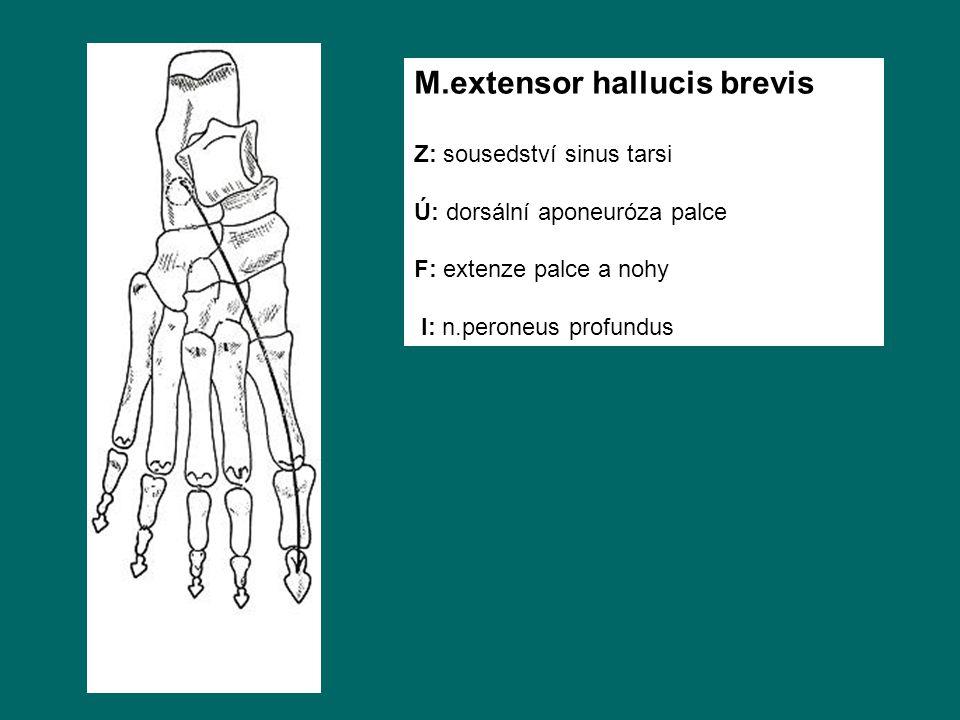 M.extensor hallucis brevis