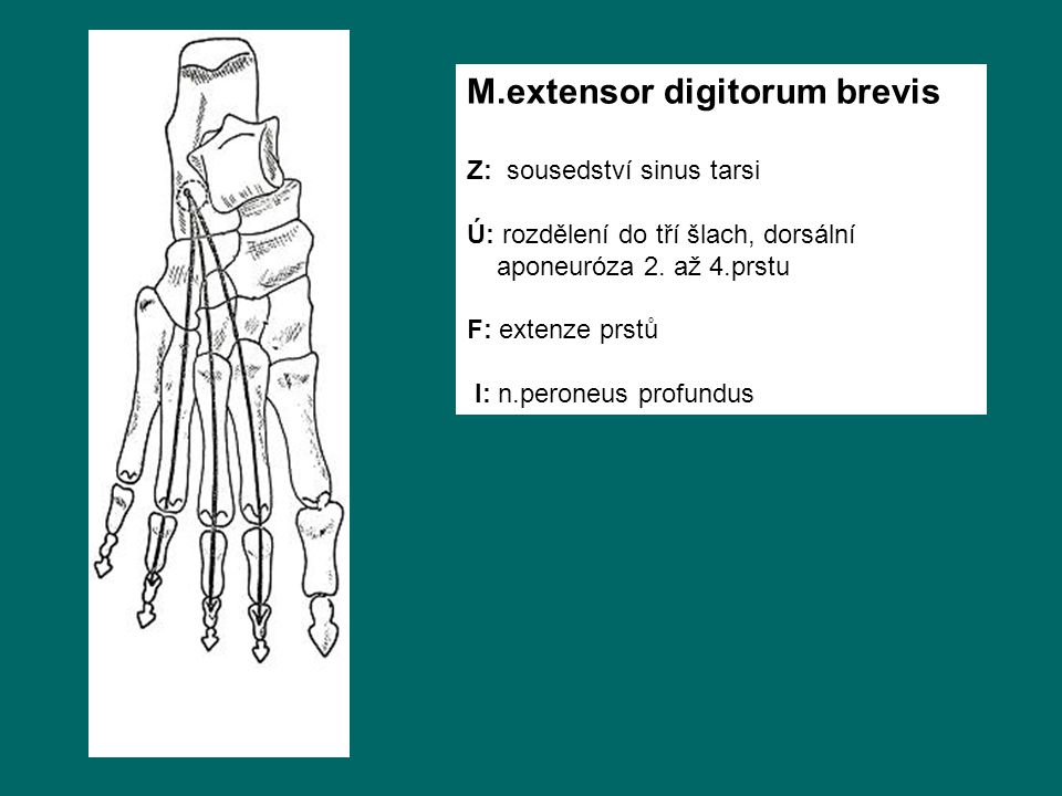 M.extensor digitorum brevis