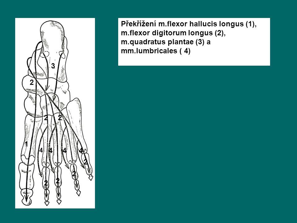 Překřížení m. flexor hallucis longus (1), m