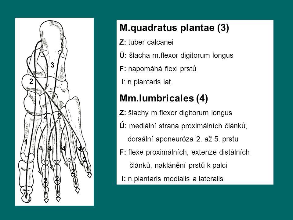 M.quadratus plantae (3) Mm.lumbricales (4) Z: tuber calcanei