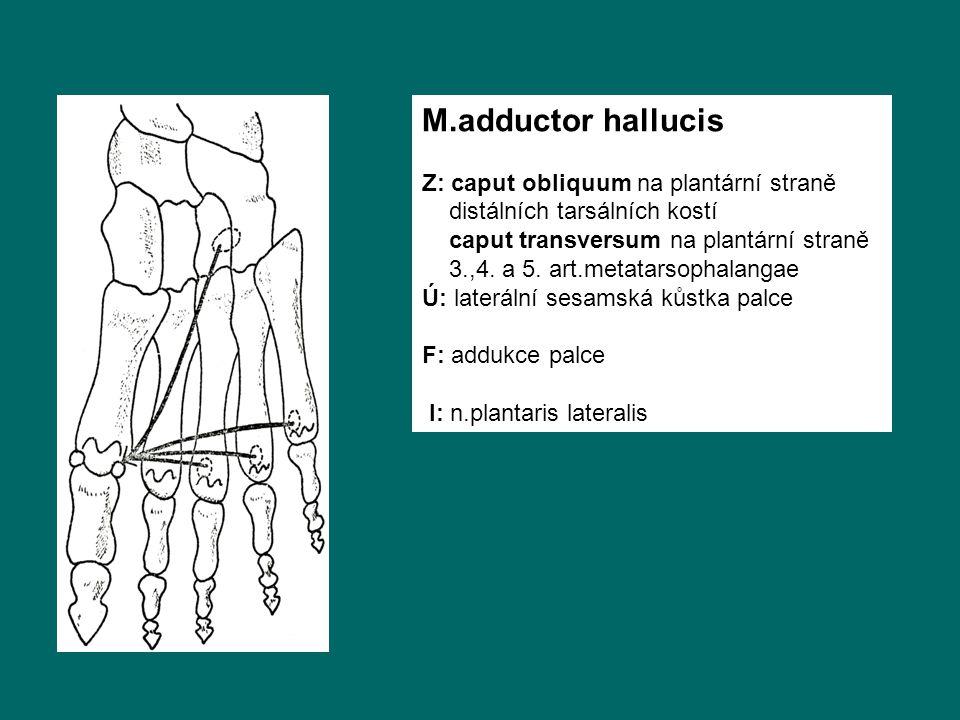 M.adductor hallucis Z: caput obliquum na plantární straně