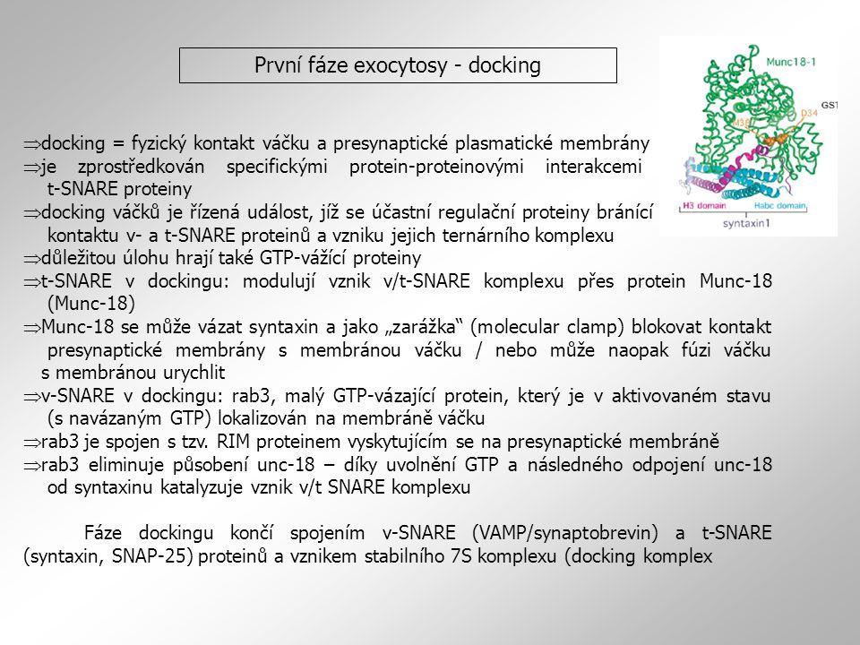 První fáze exocytosy - docking