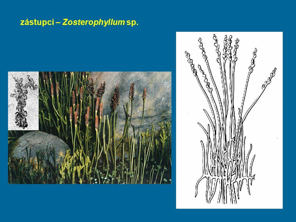 zástupci – Zosterophyllum sp.