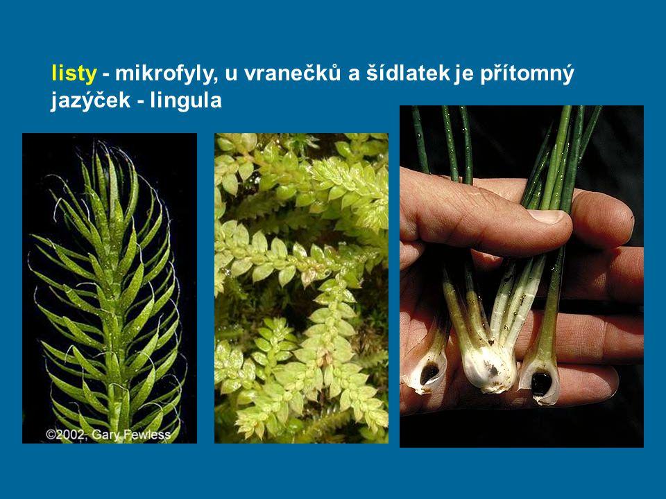 listy - mikrofyly, u vranečků a šídlatek je přítomný jazýček - lingula