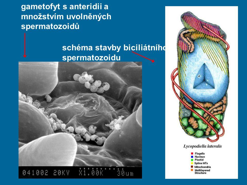 gametofyt s anteridii a množstvím uvolněných spermatozoidů