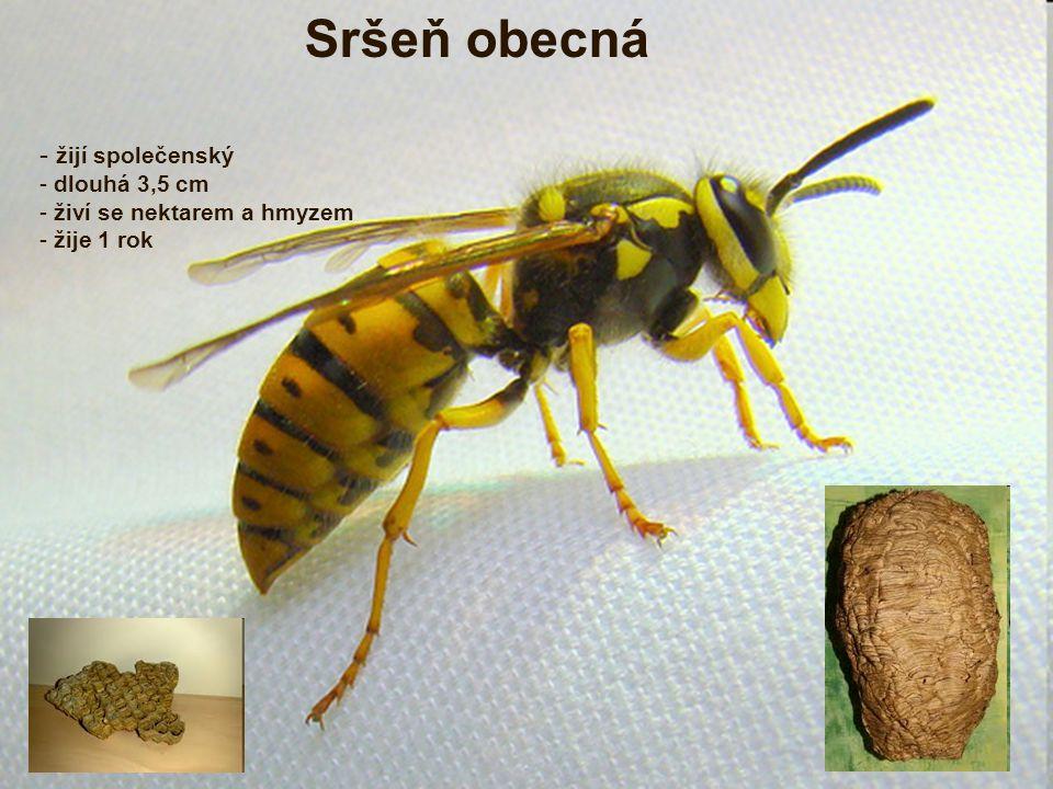 Sršeň obecná žijí společenský dlouhá 3,5 cm živí se nektarem a hmyzem