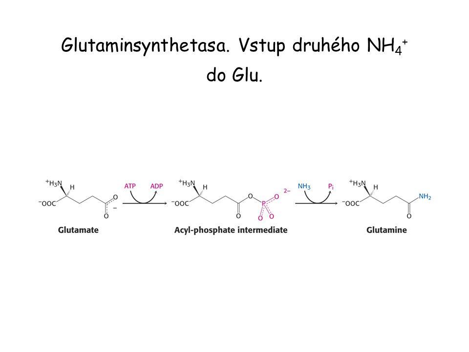 Glutaminsynthetasa. Vstup druhého NH4+ do Glu.