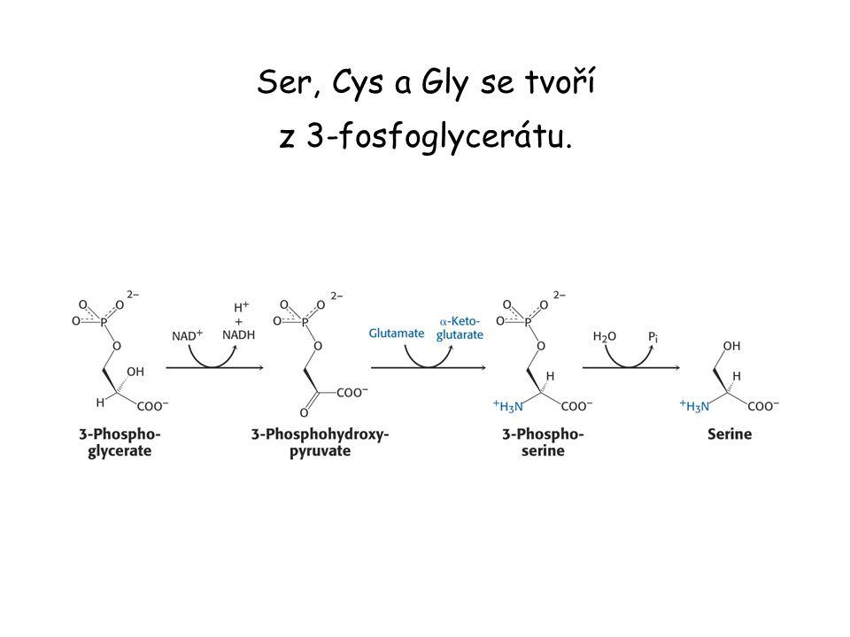 Ser, Cys a Gly se tvoří z 3-fosfoglycerátu.