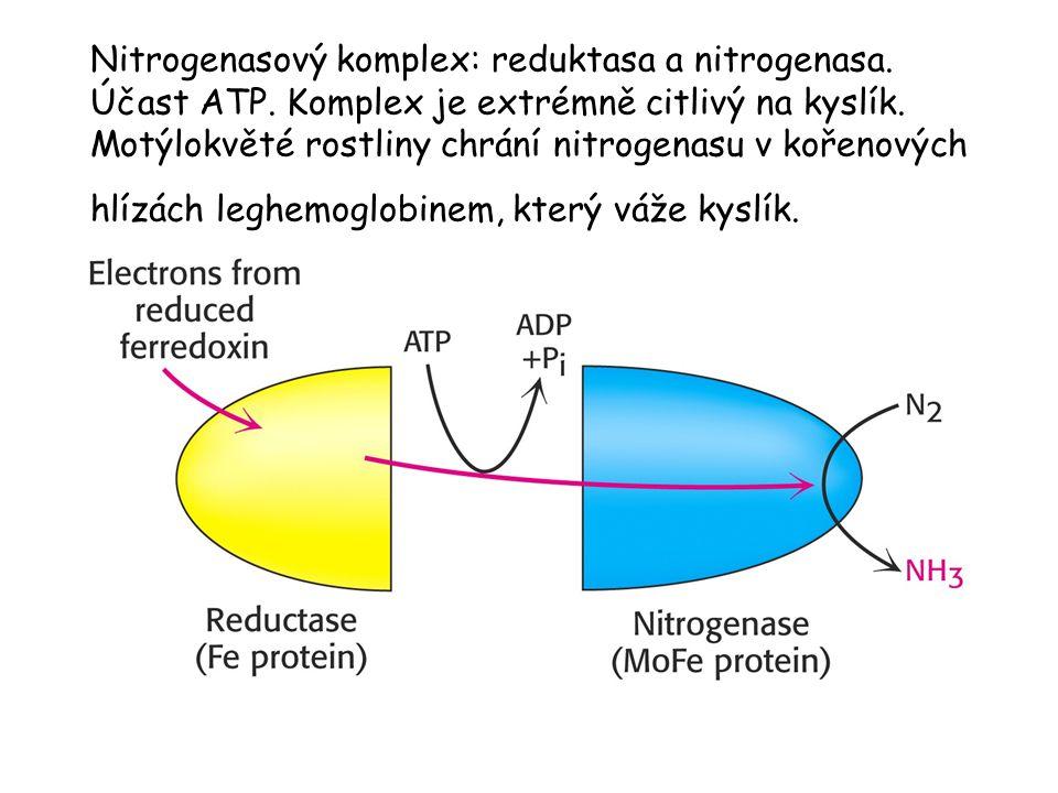 Nitrogenasový komplex: reduktasa a nitrogenasa. Účast ATP