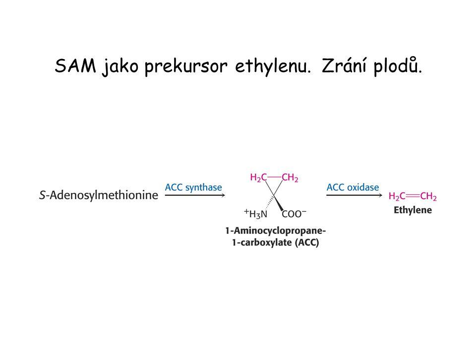 SAM jako prekursor ethylenu. Zrání plodů.